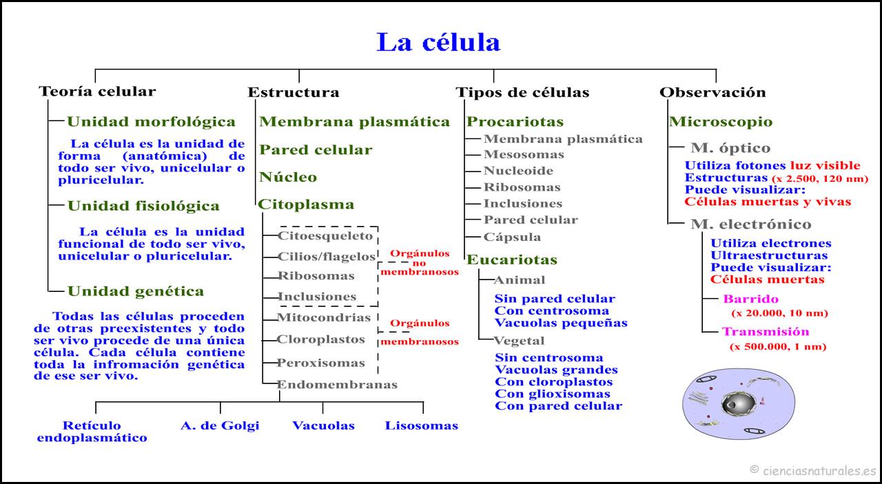 ´a Célula