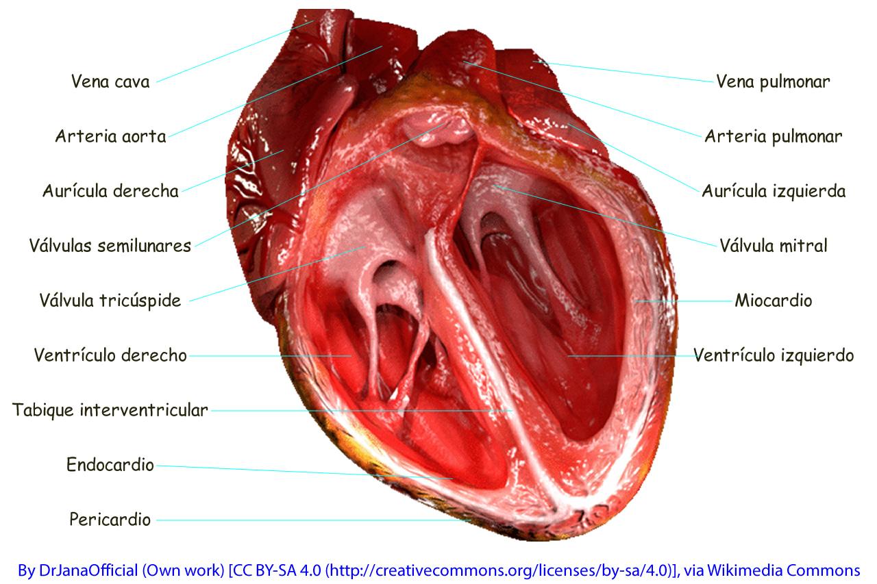 Anatomía del Corazón de José A. Borreguero Rolo