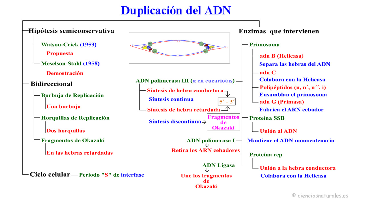 Duplicación del ADN